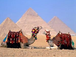 верблюди в Єгипті