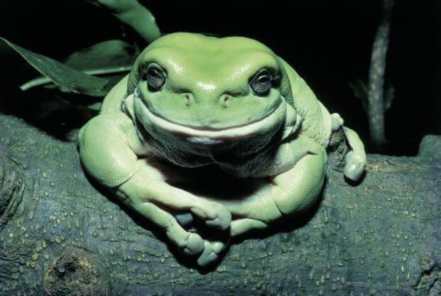 Австралійська пустельна жаба