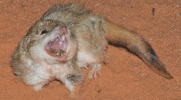Австралія: гребнехвостая мышевидка-мульгара