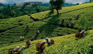 шри ланка чайная плантация
