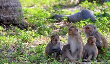 Остров обезьян Хон-Лао, Вьетнам