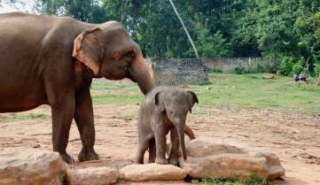 Слоновий питомник, Пиннавела