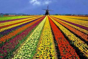 Тюльпановая красота Нидерландов