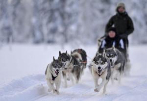 катание на хаски в Финляндии