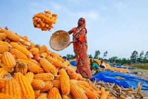 сбор урожая в Бангладеше