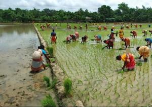 сільське господарство в Бангладеш
