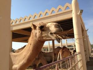 верблюды в Бахрейне