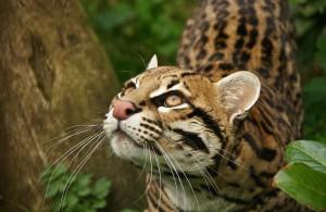 оцелот - дикая венесуэльская кошка