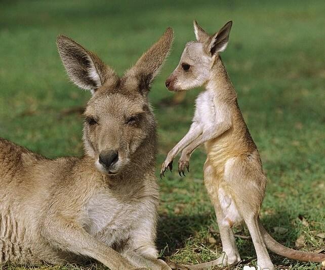 Животные Австралии: кенгуру