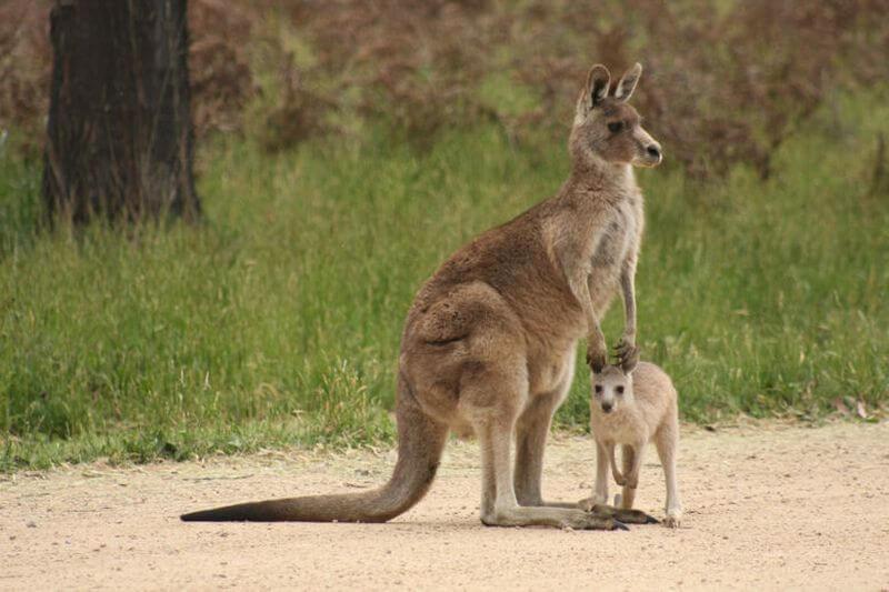 Австралийский кенгуру с детенышем