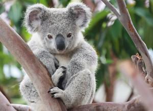 Путешествие в Австралию: коала