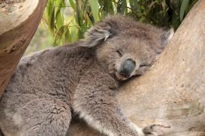 Животные Австралии: коала