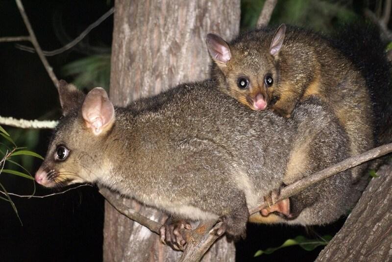Австралийский зверь Кузу