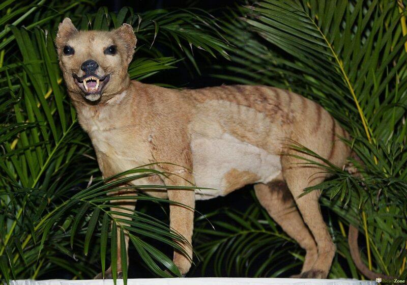 Австралийский сумчатый волк