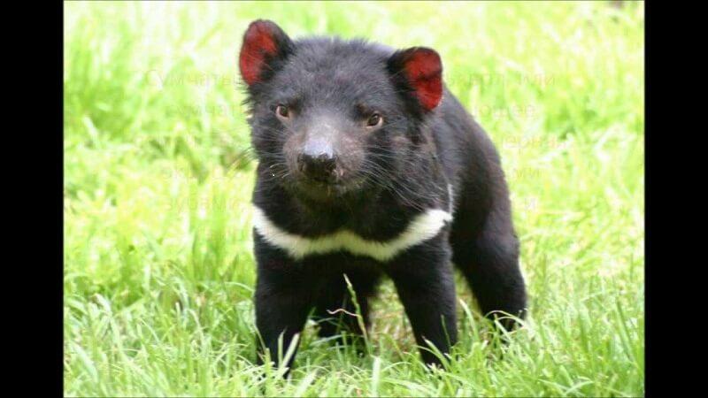 Австралийский тасманский дьявол