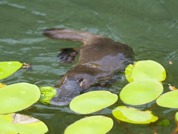 Фауна Австралии: утконос