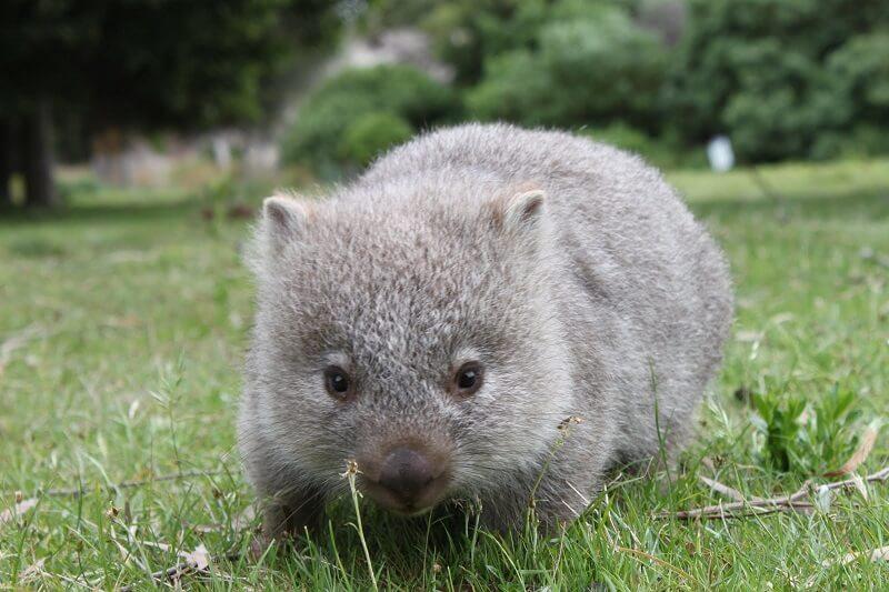 Австралийский вомбат