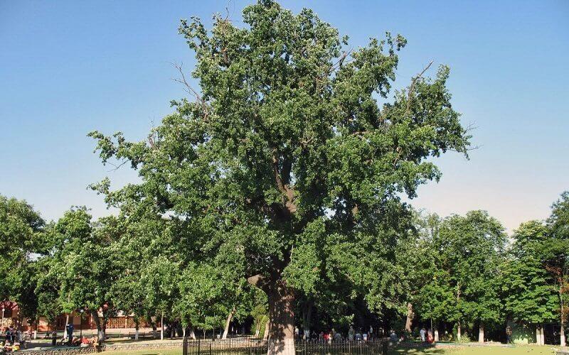 100 летний дуб в Херсоне
