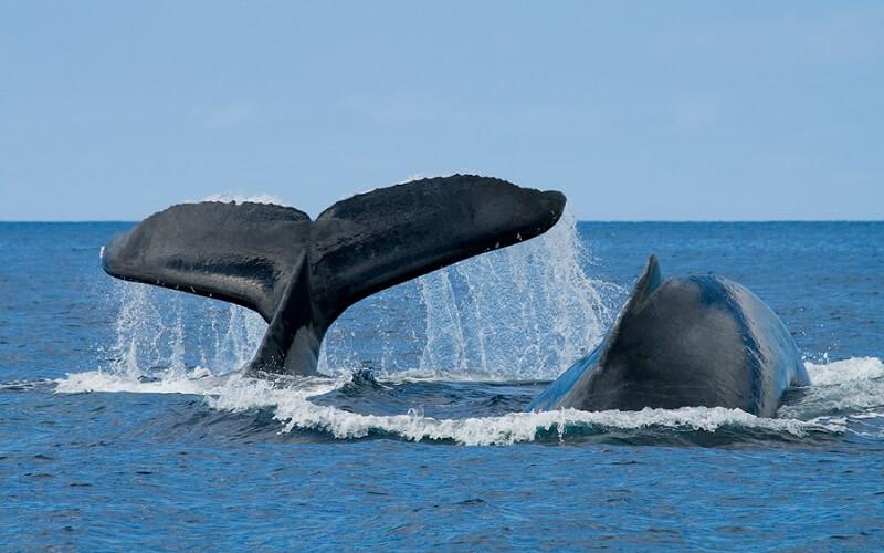 Доминикана, сезон Горбатых Китов