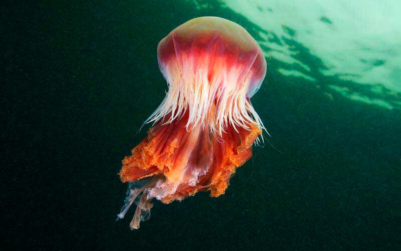 Гигантская ядовитая медуза