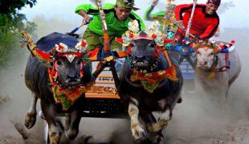 На Бали стартуют гонки на буйволах