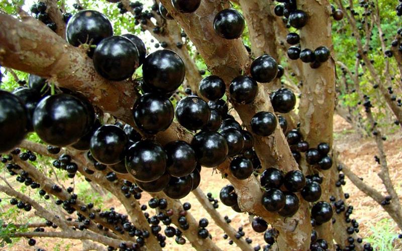 Древесный фрукт жаботикаба
