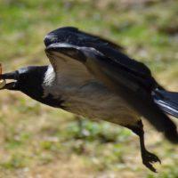 В парке Puy du Fou появились вороны-уборщицы!