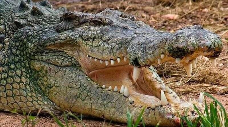 Крокодил из острова Маврикия